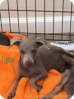 Chihuahua/Terrier (Unknown Type, Small) Mix Puppy for adoption in Rosamond, California - Rolo