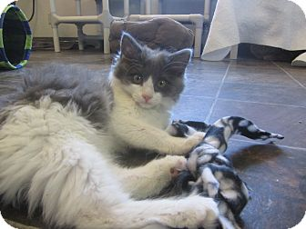 Domestic Longhair Kitten for adoption in Ridgway, Colorado - Ghost