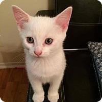 Domestic Shorthair Kitten for adoption in THORNHILL, Ontario - Meteor