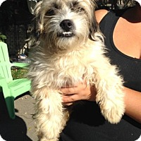 Cockapoo Mix Dog for adoption in Temecula, California - Buster