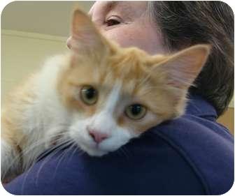 American Shorthair Cat for adoption in Lake Charles, Louisiana - Bonnie