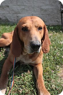 Redbone Coonhound Mix Dog for adoption in Stilwell, Oklahoma - Gus