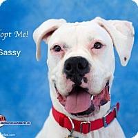 Adopt A Pet :: Sassy - Acton, CA