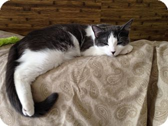 Domestic Shorthair Cat for adoption in Middletown, New York - Wolf