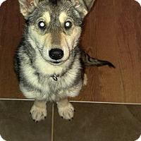 Adopt A Pet :: Ace - Pierrefonds, QC