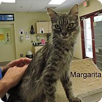 Domestic Mediumhair Cat for adoption in Slidell, Louisiana - Margarita