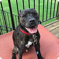 Pit Bull Terrier Mix Dog for adoption in Alpharetta, Georgia - Kelton