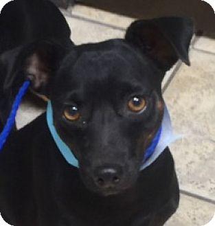 Miniature Pinscher Mix Dog for adoption in North Las Vegas, Nevada - Lolita