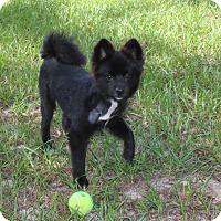 Adopt A Pet :: Jax - Weeki Wachee, FL