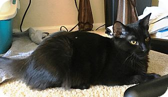 Domestic Mediumhair Cat for adoption in Orange, California - Timmy