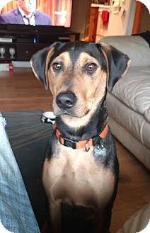Hound (Unknown Type)/Shepherd (Unknown Type) Mix Dog for adoption in Glastonbury, Connecticut - Cole Porter~meet me!