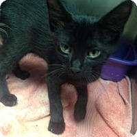 Domestic Shorthair Kitten for adoption in Paducah, Kentucky - Tonto