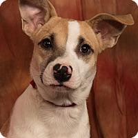 Adopt A Pet :: Flower Heeler Collie Mix - St. Louis, MO