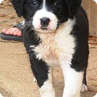 Adopt A Pet :: BLAKE - Bronx, NY