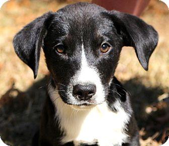 Labrador Retriever/Border Collie Mix Puppy for adoption in Glastonbury, Connecticut - Luigi~adopted!