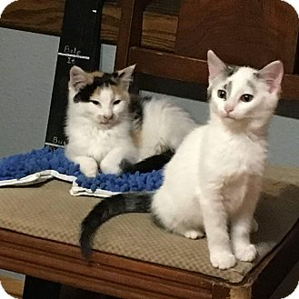 Domestic Shorthair Kitten for adoption in Chippewa Falls, Wisconsin - Panel