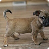 Adopt A Pet :: Paxton- Adoption Pending - Greeley, CO