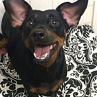 Adopt A Pet :: Princess - St. Louis, MO
