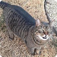 Adopt A Pet :: Tiger - Sacramento, CA