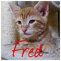 Adopt A Pet :: Fred - Scottsdale, AZ