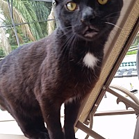 Domestic Shorthair Cat for adoption in Orlando-Kissimmee, Florida - Spot