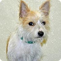 Adopt A Pet :: Praline - Port Washington, NY