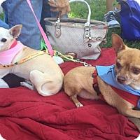 Adopt A Pet :: Daisy & Diego - bonded pair - Santa Monica, CA