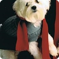 Adopt A Pet :: Little Maltese Willie--S - Alvin, TX
