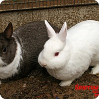 Netherland Dwarf Mix for adoption in Santa Maria, California - Sparrow