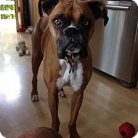 Adopt A Pet :: Anna - Beautiful Boxer - Kirkland, WA