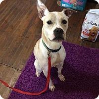 Labrador Retriever Dog for adoption in Milwaukee, Wisconsin - Luke Skybarker