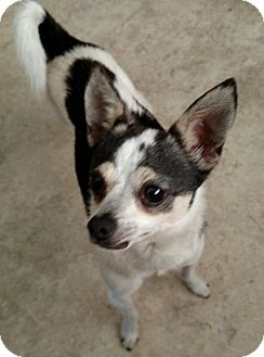 Chihuahua Mix Dog for adoption in San Diego, California - George