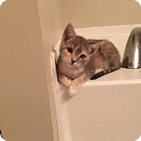 Domestic Shorthair Kitten for adoption in Acworth, Georgia - Scout