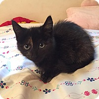 American Shorthair Kitten for adoption in Niagara Falls, New York - Elly (100% AdorableNess!)