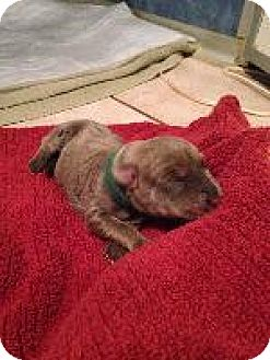 Weimaraner Puppy for adoption in Fayetteville, Arkansas - Green(Lacey)