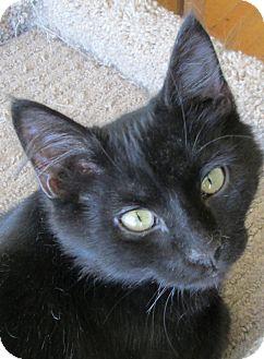 Domestic Mediumhair Cat for adoption in Buhl, Idaho - Mushy