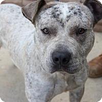 Pit Bull Terrier Mix Dog for adoption in Greensboro, North Carolina - Tonto