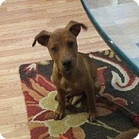 Adopt A Pet :: Marley (DENVER) - Fort Collins, CO
