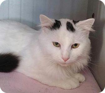 Domestic Shorthair Cat for adoption in Templeton, Massachusetts - Chance