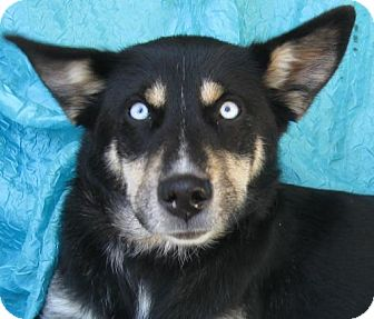 Husky/Shepherd (Unknown Type) Mix Dog for adoption in Cuba, New York - Eliza Jacobs