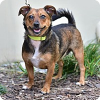 Dachshund/Chihuahua Mix Dog for adoption in Marina Del Ray, California - SCARLET