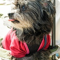 Poodle (Toy or Tea Cup)/Pomeranian Mix Dog for adoption in Red Lion, Pennsylvania - Kacey