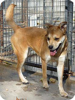 Boxer/Siberian Husky Mix Dog for adoption in Zanesville, Ohio - 45200 Bunny (active girl)