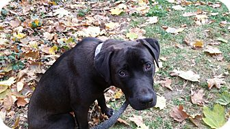 Labrador Retriever Mix Puppy for adoption in Allison Park, Pennsylvania - Lucy