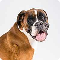 Boxer Dog for adoption in St. Louis Park, Minnesota - Artemis