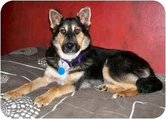 Carolyn Adopted Dog Latrobe Pa German Shepherd Dog Sheltie Shetland Sheepdog Mix