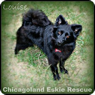 Spitz (Unknown Type, Small) Mix Dog for adoption in Elmhurst, Illinois - Louise