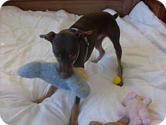 Miniature Pinscher Dog for adoption in Litchfield Park, Arizona - Pogo - Only $65 adoption fee!