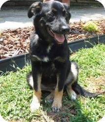 German Shepherd Dog/Rottweiler Mix Puppy for adoption in Pineville, North Carolina - Zu Zu