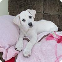 Adopt A Pet :: Snowball - Adopted! - Ascutney, VT